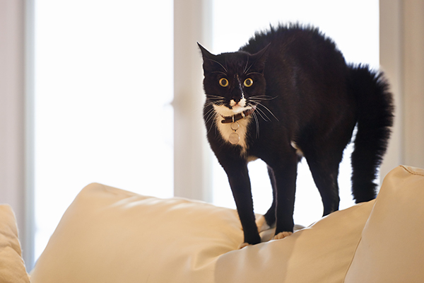 A scared or surprised cat with his back arched and eyes wide.