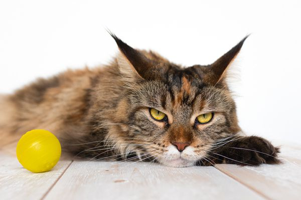 An annoyed cat or angry cat with a ball toy.