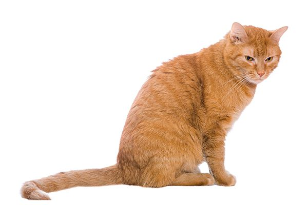 An orange cat looking angry and showing his tail.