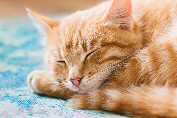 An orange tabby cat sleeping with his eyes closed.