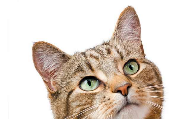 A tabby cat looking up.