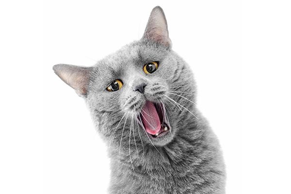 A cat with his mouth open, making a sound.