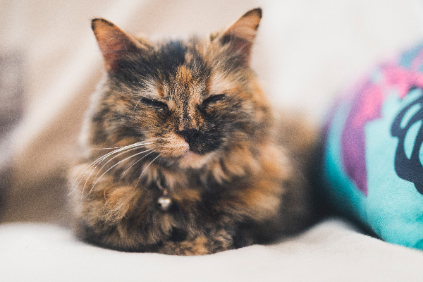 A tortoiseshell cat sleeping and relaxing.