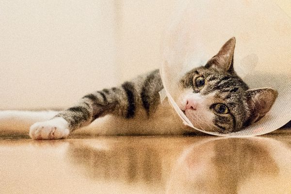 Cat with an e-collar on after surgery.