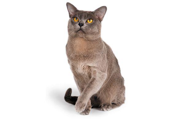 Flat-faced Burmese cat.