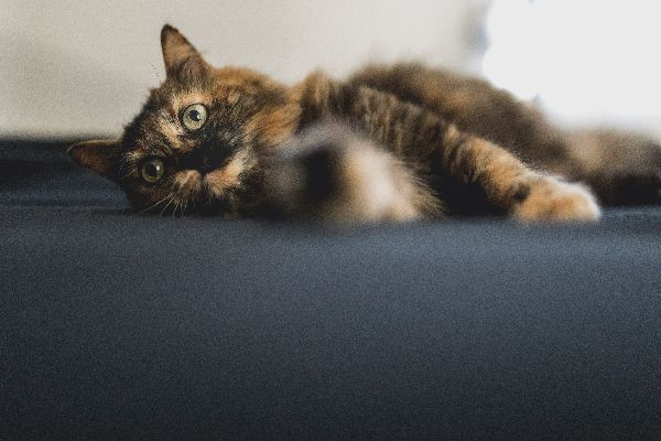 Tortoiseshell cats are known for having tortitude.