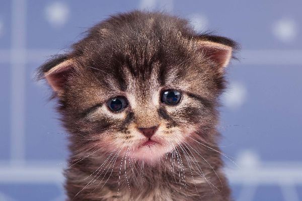 A sad cat crying, tearing up or with watery eyes.