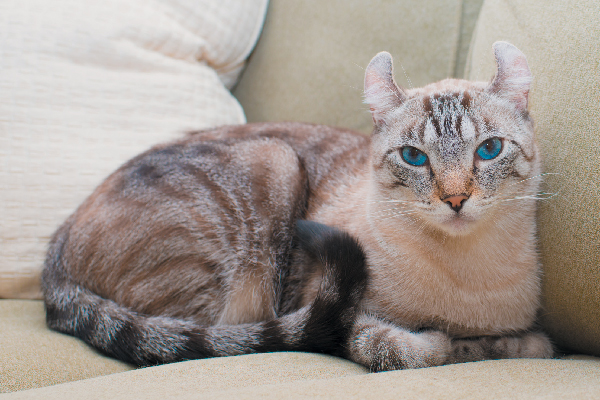 American Curl on a couch.