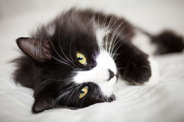 Closeup of a tuxedo cat on a bed.