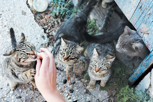 Both indoor and outdoor cats, like community cats (right), are at risk for rabies, as they can come into contact with rabies' carriers, like bats.