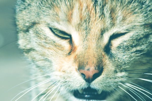 An angry or sleepy cat talking with mouth open.