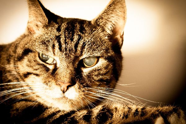 A brown tabby cat with glaucoma.