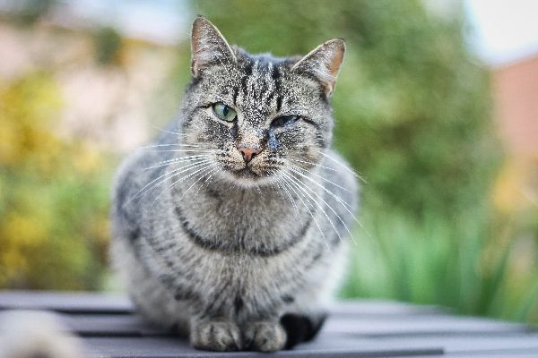 Gray cat with eye issues.
