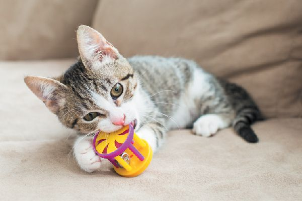 Kitten playing with and biting a toy.