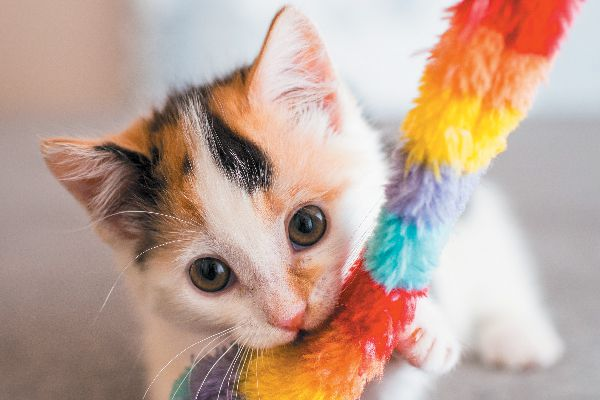 A calico kitten with a rainbow toy.