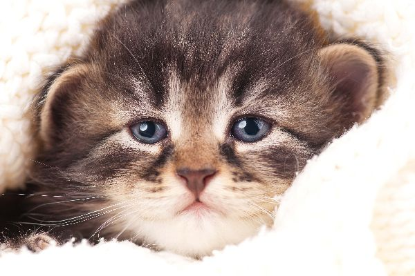 A kitten crying or looking upset, annoyed or tired.