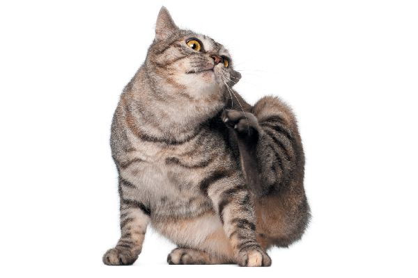 An itching tabby cat.