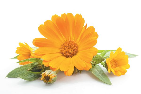 Only use the flowers of Calendula for a soothing tea, never the leaves or stems.