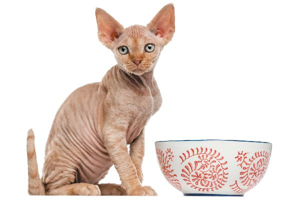Cat with a food bowl looking hungry.