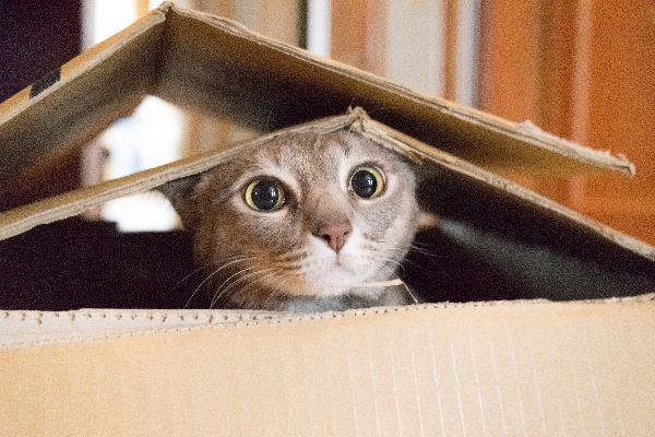 A gray cat peeking out of cardboard boxes.