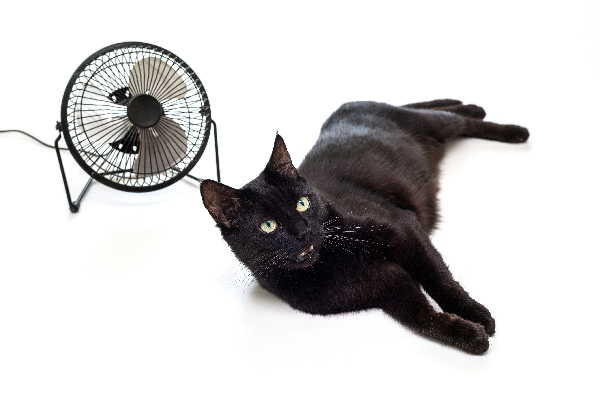 A hot black cat in the summer next to a fan.