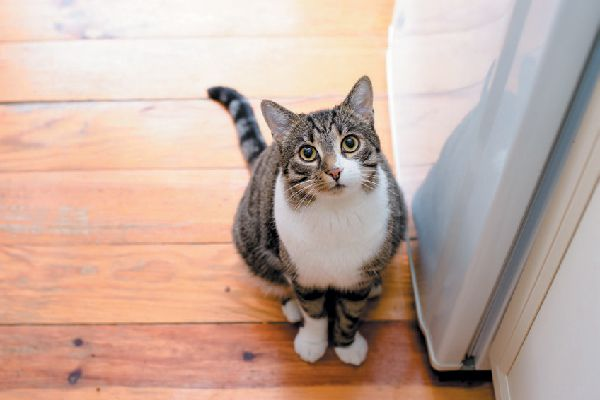 A hungry tabby cat looking up.