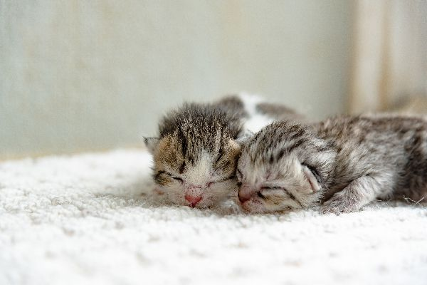 Two gray kittens with their eyes closed.
