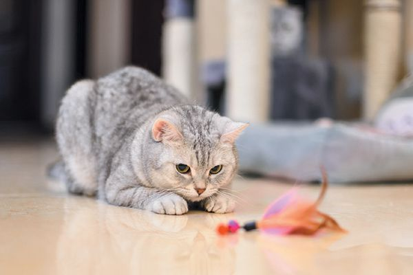A grey grey starring at a feather toy in front of her.