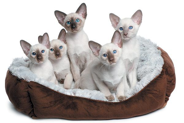 Five white kittens with blue eyes sitting together in their bed.
