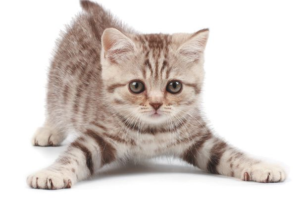 Striped kitten with front paws spread out wide.