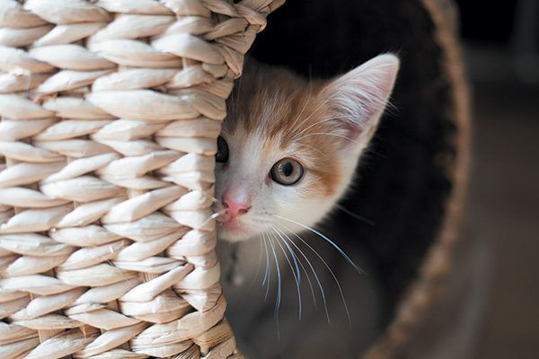Kitten peaking head out from behind a basket.