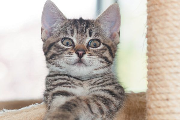 Brown striped kitten with a surprised expression.