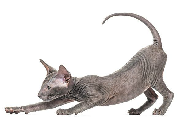 Peterbald pouncing at the floor with his tail up.