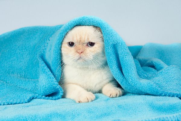 A sick cat wrapped up in a blanket.