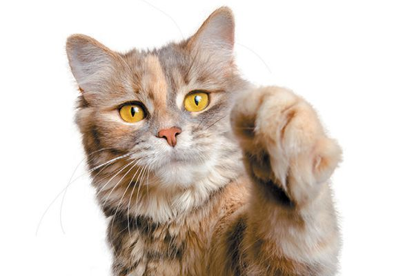 Research determined if cats might be left-pawed or right-pawed. Photography ©Olga Miltsova | Getty Images.