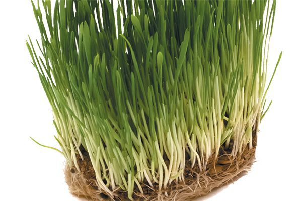 Grass is a lightweight form of natural cat litter. Photography ©undefined undefined   Getty Images.