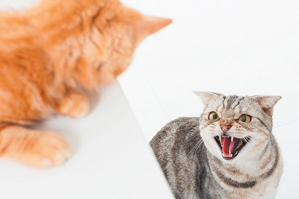 Cats first try to avoid fighting by scaring away the threat — hissing, vocalizing, posturing — before they scratch. Photography ©Tomwange112   Getty Images.