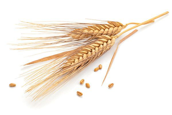 Wheat has a nice, natural smell as a form of natural cat litter. Photography ©Barcin   Getty Images.