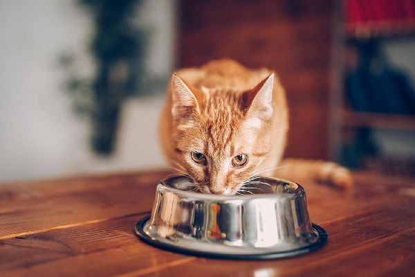 An orange tabby cat eating or drinking out of a bowl.