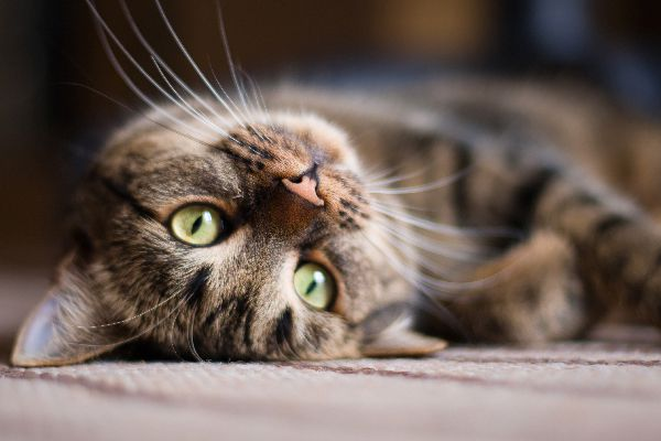 An upside down tabby cat with whiskers out.