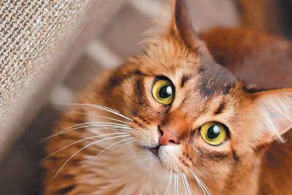 Somali cat close up.