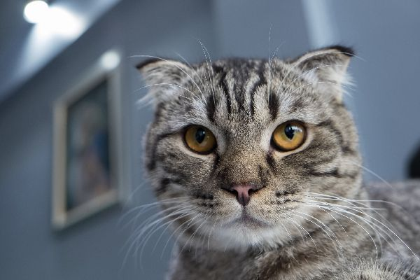 A gray tabby cat with attitude close up.