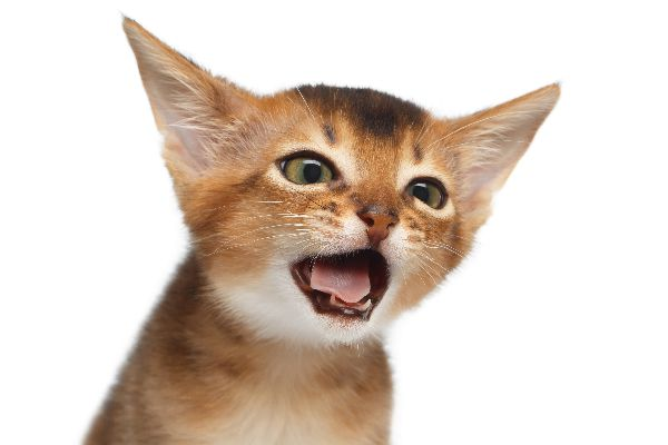 A cat with his mouth open making some kind of sound.