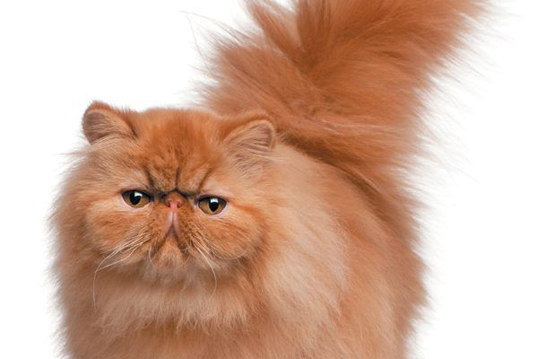 A Persian kitten was one of the prize winners in 1871 at the world's first cat show, held at the Crystal Palace in London. At the time, they were listed as French Persian (Angora) cats. Photography ©GlobalP   Getty Images.