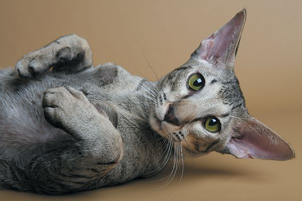 The Oriental cat can be found in more than 600 patterns. Photography ©GlobalP | Getty Images.
