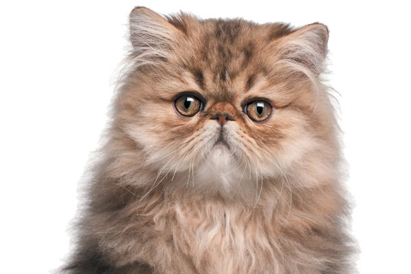The Persian cat has been around for centuries. Photography ©Photos.com | Getty Images.