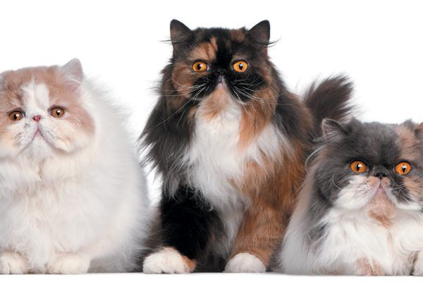 The Persian cat can get along well with other pets. Photography ©GlobalP   Getty Images.