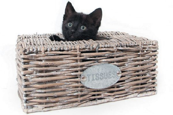 A black cat popping out of a tissue box.