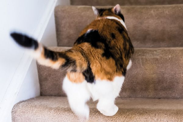 A calico cat walking up the stairs.