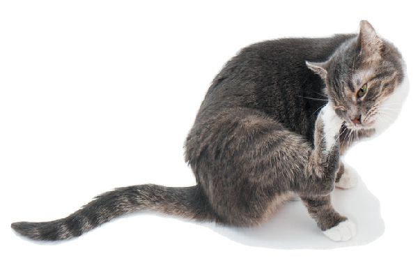 A cat itching and scratching.